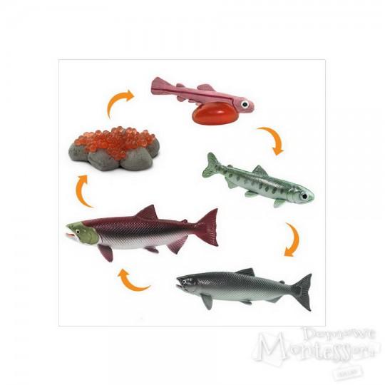 Cykl życia łososia
